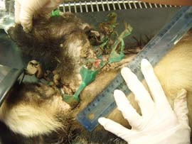 The vets examine the damage done to this Badger by the plastic mesh wrapped around its body