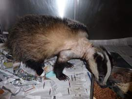 After several weeks rest and care the female Badger is standing up and tucking into her dinner