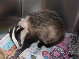 After almost doubling her weight, here is the female Badger looking much better the night before her release
