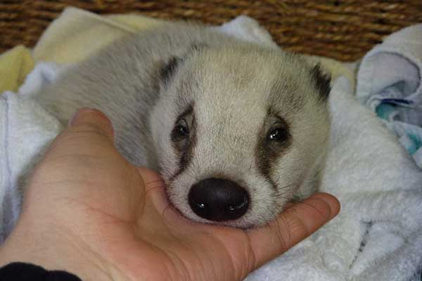 Female badger cub found out on her own