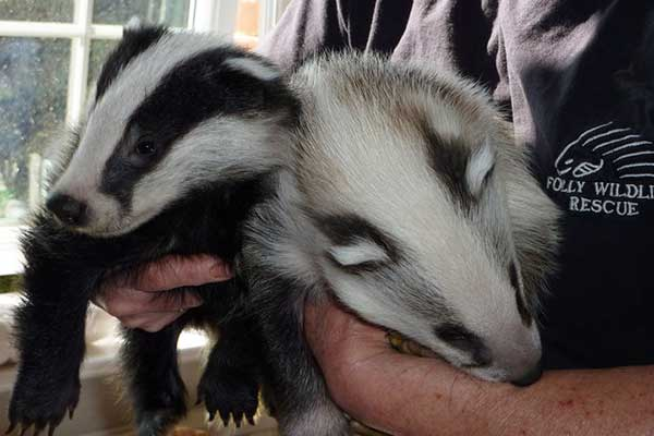 Our original 'white' badger with a normal coloured badger boy