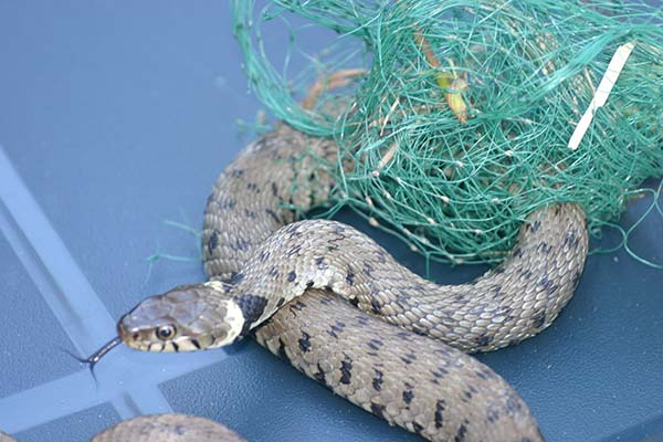 Snake Caught In Netting